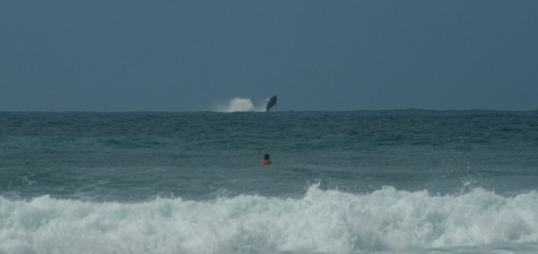 Rincon whale at marias. Puerto Rico, Surfing photo