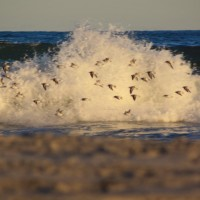 Pipers Through the Surf. New Jersey, Scenic photo